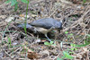 August 27, 2013 (Parkway Central High School [wooded trail] / Chesterfield, Saint Louis County, Missouri) -- Tufted Titmouse