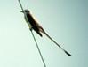 July 20, 2013 (Darst Bottom Road / Defiance, Saint Charles County, Missouri) -- Scissor-tailed Flycatcher