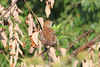July 19, 2013 (Parkway Central High School [below radio tower] / Chesterfield, Saint Louis County, Missouri) -- Brown Thrasher