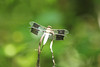 Common Whitetail Dragonfly (Plathemis lydia) @ Parkway CHS