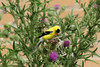 August 2, 2013 (Parkway Central High School [outside Library Science] / Chesterfield, Saint Louis County, Missouri) -- American Goldfinch