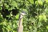 August 4, 2013 (Columbia Bottom Conservation Area [near slough boardwalk] / Spanish Lake, Saint Louis County, Missouri) -- Belted Kingfisher