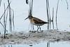 August 7, 2013 (Columbia Bottom Conservation Area [flooded area along gravel road] / Spanish Lake, Saint Louis County, Missouri) -- Least Sandpiper