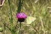July 4, 2013 (Bellefontaine Conservation Area [near Bluegil fishing pond] / Bellefontaine Neighbors, Saint Louis County, Missouri) -- Sulphur Butterfly
