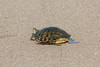 July 6, 2013 (Simpson Lake County Park [Levee Bicycle Trail] / Valley Park, Saint Louis County, Missouri) -- Red-eared Slider