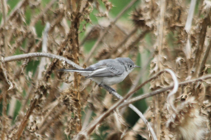 August 2, 2013 (Parkway Central High School [under radio tower] / Chesterfield, Saint Louis County, Missouri) -- Blue-gray Gnatcatcher