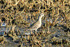 August 11, 2013 (Mitchie Road [flooded farm field] / Valmeyer, Monroe County, Illinois) -- American Golden Plover
