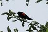 July 10, 2013 (Bellefontaine Conservation Area [near Bluegil fishing pond] / Bellefontaine Neighbors, Saint Louis County, Missouri) -- Male Red-winged Blackbird