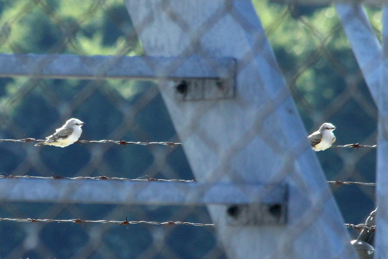 August 3, 2013 (Darst Bottom Road / Defiance, Saint Charles County, Missouri) -- Juvenile Scissor-tailed Flycatchers