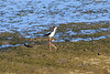 August 11, 2013 (Levee Road [flooded farm field] / Valmeyer, Monroe County, Illinois) -- Black-necked Stilt