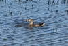 July 28, 2013 (Clarence Cannon National Wildlife [flooded farm field] / Annada, Pike County, Missouri) -- Pied-billed Grebe