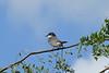 July 27, 2013 (Weldon Spring Conservation Area [Blue Grosbeak Trail] / Weldon Spring, Saint Charles County, Missouri) -- Eastern Kingbird