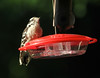 July 13, 2013 ([backyard kichen window Hummingbird Feeder] / Manchester, Saint Louis County, Missouri) -- Downy Woodpecker