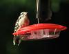 July 13, 2013 ([backyard kichen window Hummingbird Feeder] / Manchester, Saint Louis County, Missouri) -- Downy Woodpecker