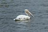 July 14, 2013 (Riverlands Migratory Bird Sanctuary [Ellis Bay] / West Alton, Saint Charles County, Missouri) -- American White Pelican