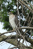 August 9, 2013 (Parkway Central High School [wooded trail] / Chesterfield, Saint Louis County, Missouri) -- Cooper's Hawk