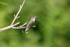 August 18, 2013 (Weldon Springs Conservation Area [Lost Valley Trail] / Defiance, Saint Charles County, Missouri) -- Ruby-throated Hummingbird