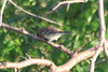 September 14, 2013 (Clarence Cannon National Wildlife [wooded trail] / Annada, Pike County, Missouri) -- Yellow-rumped Warbler (2nd photo)