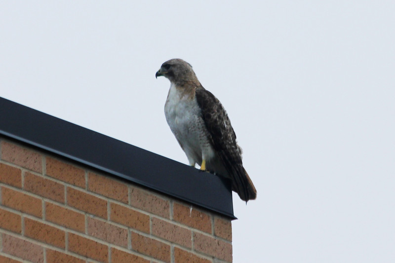 July 22, 2013 (Parkway Central High School [Science Building] / Chesterfield, Saint Louis County, Missouri) -- Red-tailed Hawk