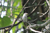 August 15, 2013 (Parkway Central High School [wooded trail] / Chesterfield, Saint Louis County, Missouri) -- Eastern Wood-Pewee