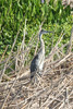 August 10, 2013 (Bellefontaine Conservation Area [first pond] / Bellefontaine Neighbors, Saint Louis County, Missouri) -- Great Blue Heron