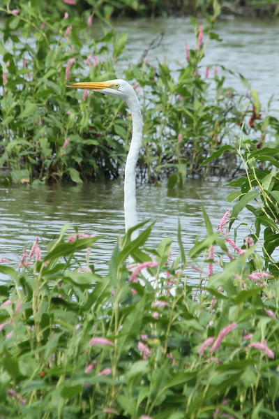 August 7, 2013 (Columbia Bottom Conservation Area [flooded area along gravel road] / Spanish Lake, Saint Louis County, Missouri) -- Great Egret