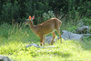 July 6, 2013 (Simpson Lake County Park [Valley Park Bicycle Trail] / Valley Park, Saint Louis County, Missouri) -- Deer