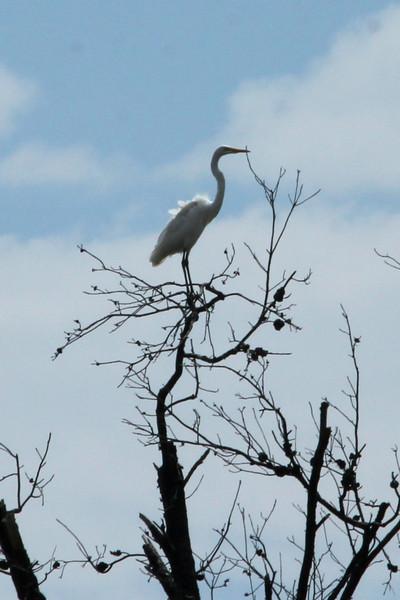 July 20, 2013 (Keeteman Road Sod Farm / Old Monroe, Lincoln County, Missouri) -- Great Egret in tall tree