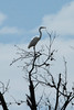 July 20, 2013 (Keeteman Road Sod Farm / Old Monroe, Lincoln County, Missouri) -- Great Egret in tall tree