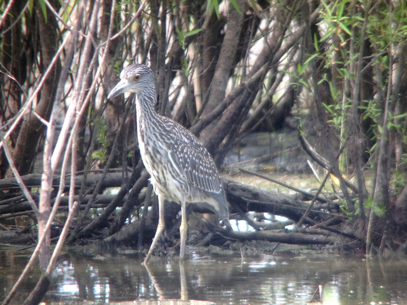 August 7, 2013 (Columbia Bottom Conservation Area [flooded area along gravel road] / Spanish Lake, Saint Louis County, Missouri) -- Juvenile Yellow-crowned Night Heron