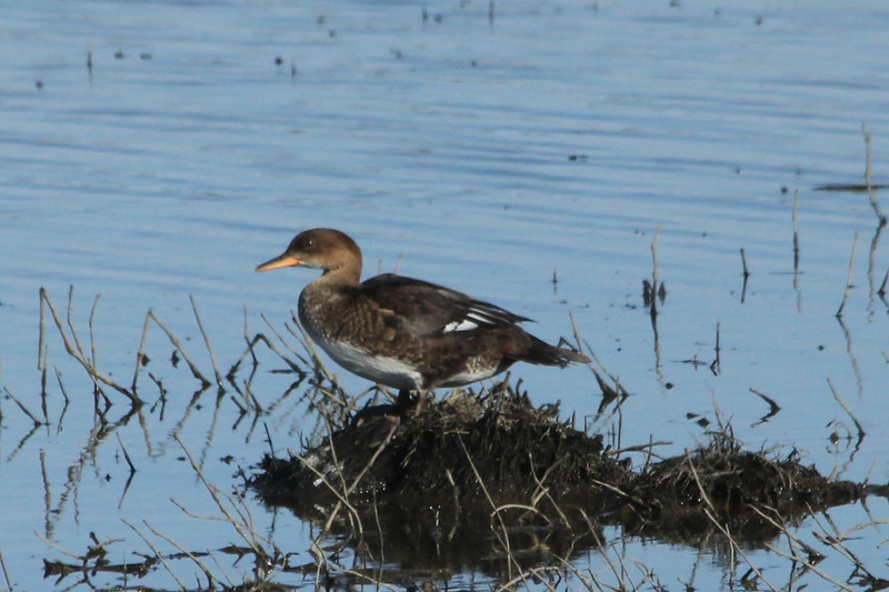 July 28, 2013 (Clarence Cannon National Wildlife [flooded farm field] / Annada, Pike County, Missouri) -- Female Hooded Merganser