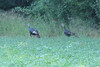 August 25, 2012 (Lake Carlyle [James Hawn Access] / Carlyle, Clinton County, Illinois) -- Wild Turkeys