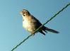 July 20, 2013 (Darst Bottom Road / Defiance, Saint Charles County, Missouri) -- Lark Sparrow