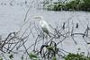July 31, 2013 (Columbia Bottom Conservation Area [flooded area along gravel road] / Spanish Lake, Saint Louis County, Missouri) -- Great Egret