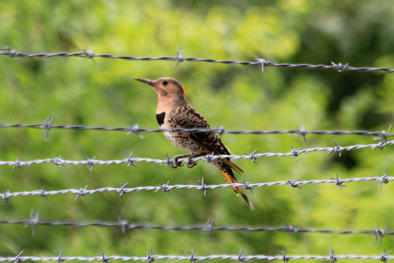 "August 6, 2013 (Parkway Central High School [under radio tower] / Chesterfield, Saint Louis County, Missouri) -- ""Yellow-shafted"" Northern Flicker"