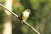 October 4, 2013 (Forest 44 Conservation Area [Dogwood Trail] / Fenton, Saint Louis County, Missouri) -- Eastern Phoebe