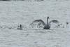 October 24, 2013 (Riverlands Migratory Bird Sanctuary [Heron Pond] / West Alton, Saint Charles County, Missouri) -- Trumpeter Swans
