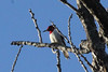 December 27, 2013 (Clarence Canon National Wildlife Refuge [over wooded trail] / Annada, Pike County, Missouri) -- Red-headed Woodpecker