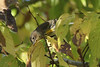 "October 8, 2013 (Shaw Nature Reserve [Bascom House] / Gray Summit, Franklin County, Missouri) -- Yellow-rumped ""Myrtle"" Warbler"