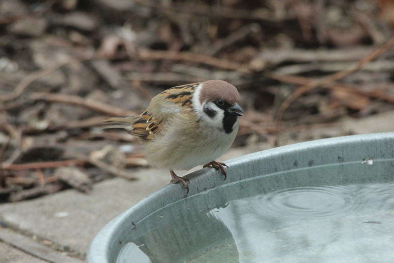 December 29, 2013 (Columbia Bottom Conservation Area [visitor's center] / Spanish Lake, Saint Louis County, Missouri) -- Eurasian Tree Sparrow