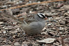 December 29, 2013 (Columbia Bottom Conservation Area [visitor's center] / Spanish Lake, Saint Louis County, Missouri) -- White-crowned Sparrow