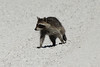 October 27, 2013 (Clarence Canon National Wildlife Refuge [near duck ponds] / Annada, Pike County, Missouri) -- Young Raccoon