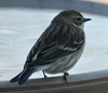"December 27, 2013 (backyard deck birdbath) over Grand Glaize Creek / Manchester, Saint Louis County, Missouri) -- Yellow-rumped ""Myrtle"" Warbler"