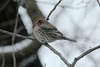 December 6, 2013 (backyard trees near feeders over Grand Glaize Creek / Manchester, Saint Louis County, Missouri) -- House Finch