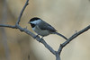 December 1, 2013 (backyard trees near feeders over Grand Glaize Creek / Manchester, Saint Louis County, Missouri) -- Carolina Chickadee