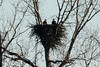 December 27, 2013 (Clarence Canon National Wildlife Refuge [over wooded trail] / Annada, Pike County, Missouri) -- Pair of Bald Eagles on Nest