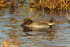 October 26, 2013 (Riverlands Migratory Bird Sanctuary [Heron Pond] / West Alton, Saint Charles County, Missouri) -- Green-winged Teal