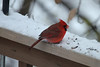December 6, 2013 (backyard deck over Grand Glaize Creek / Manchester, Saint Louis County, Missouri) -- Northern Cardinal