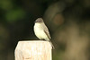 October 8, 2013 (Shaw Nature Reserve [Bascom House] / Gray Summit, Franklin County, Missouri) -- Eastern Phoebe