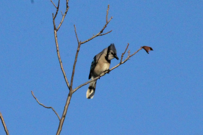 December 27, 2013 (Clarence Canon National Wildlife Refuge [over wooded trail] / Annada, Pike County, Missouri) -- Blue Jay
